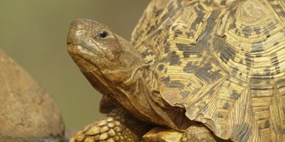 Leopard tortoise - swallowing, head in air, close shot