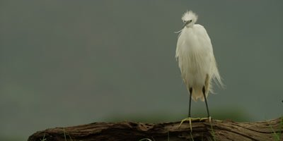Little egret - standing on log then wades through water