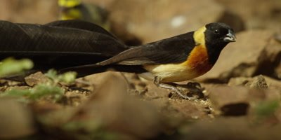 Long-tailed paradise whydah - eating, pan from tail to head