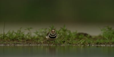 Three-banded plover - searching for food and scratching