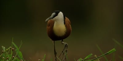 African Jacana - walking toward camera, searching for food in grass, close up