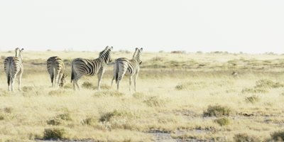 Zebra - wary herd watching lion