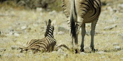 Zebra - foal stands up and suckles from mother