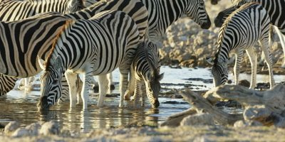 Burchell's Zebra foal drinks from watering hole alongside herd