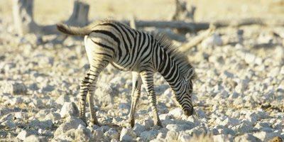Burchell's Zebra mother and foal walk through a dry, rocky landscape; foal stops to urinate
