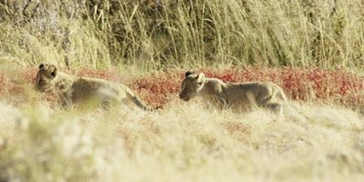 Lioness mother and cubs walking through the savanna