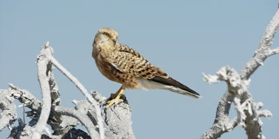 Rock Kestrel perched at the top of a dead tree