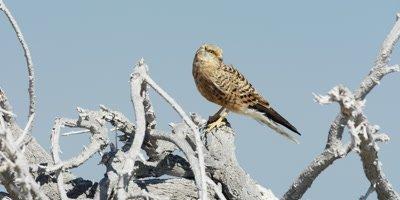 Rock Kestrel perched at the top of a dead tree