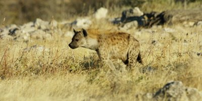 Spotted Hyena walking through the grass in a dry rocky landscape
