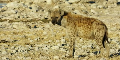Spotted Hyena walking through a dry rocky landscape near a watering hole