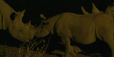 Black Rhinoceros mother and calf show affection
