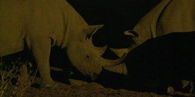 Black Rhinoceros mother and calf