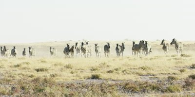 Herd of Burchell's Zebra running