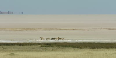 Lion pride traveling across a salt pan