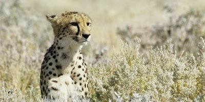 Cheetah resting in the grass