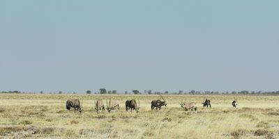 Herd of Gemsbok grazing in the savanna