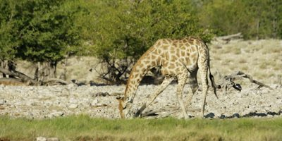 Giraffe bending down to drink from watering hole