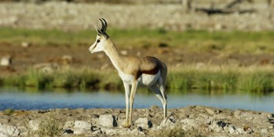 Springbok walks near the edge of a watering hole