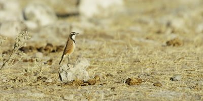 Capped Wheatear perched on a small rock hops away to find food