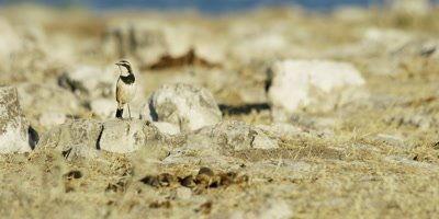 Capped Wheatear surveys the landscape while perched on a small rock