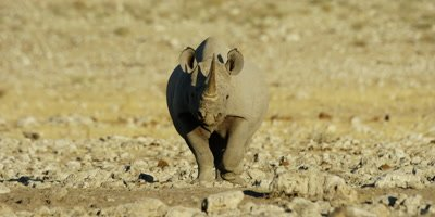 Black Rhinoceros traveling across a dry rocky landscape stops to urinate
