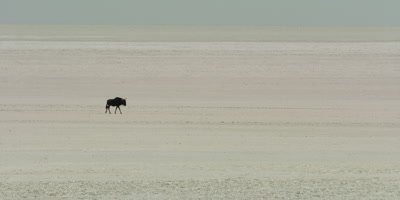Lone Blue Wildebeest travels across a salt pan