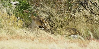 Lioness mother rests in the grass as cubs play; mother growls at one cub