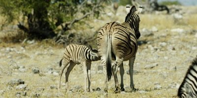 Burchell's Zebra foal nurses from it's mother; another zebra grazes nearby