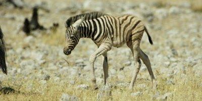 Burchell's Zebra foal following it's mother