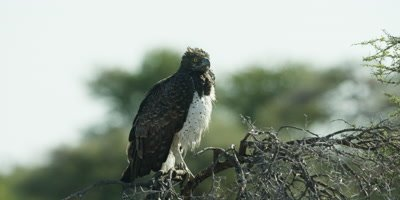 Martial Eagle perched on a tree branch
