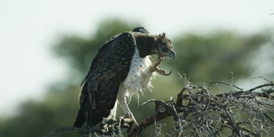Martial Eagle perched on a tree branch scratches it's chin with it's talons and makes a calling sound