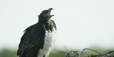 Martial Eagle perched on a tree branch makes a calling sound
