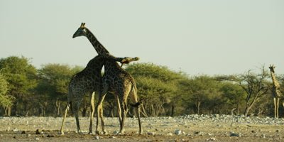 Southern Giraffe pair fighting, pushing and swinging their necks at each other