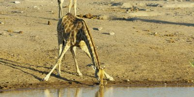 Southern Giraffe bends down to drink from a watering hole