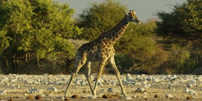 Southern Giraffes walking through a rocky landscape