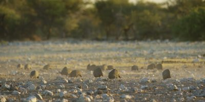 Group of Helmeted Guineafowl feeding in a dusty, dry, rocky landscape