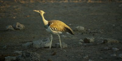 Kori Bustard walking through a dry rocky landscape