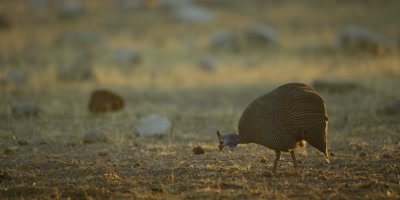 Helmeted Guineafowl feeding in a dusty, dry, rocky landscape