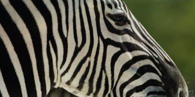 Burchell's Zebra portrait, face in profile