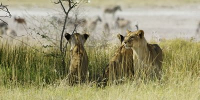 A trio of Lions hiding in the grass watch a herd of Burchell's Zebra; one Lions stands and walks away