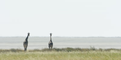 Pair of Southern Giraffes walking in the grassland