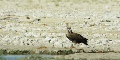 Lappet-Faced Vulture stands near a watering hole; Black-Backed Jackal run by in the background