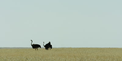 Pair of male Ostriches feeding in the grassland and flapping their wings