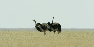 Pair of male Ostriches feeding in the grassland and flapping their wings; one Ostrich stops to preen