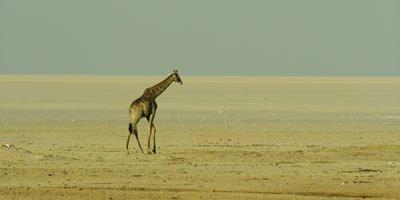Lone Southern Giraffe walking through a salt pan