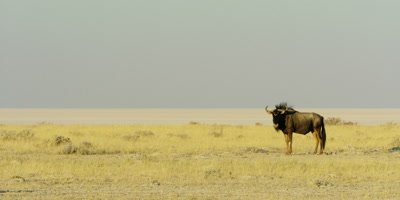 Lone Blue Wildebeest in the grassland