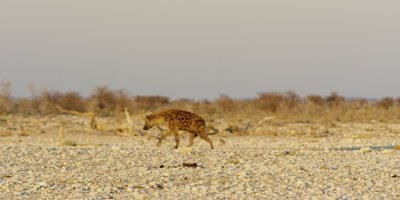 Spotted Hyena walks through a dry rocky landscape