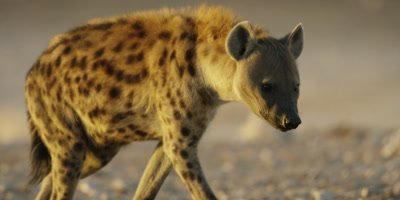 Spotted Hyena drinks from a watering hole