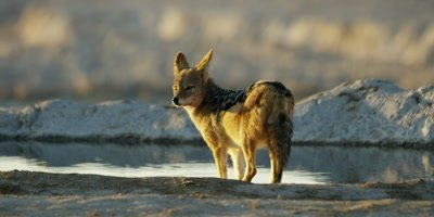 Black-Backed Jackal drinking from a watering hole stops to look and listen to it's surroundings