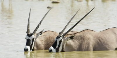 Gemsbok drinking while standing in a watering hole